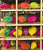 Acid colored chickens Stock Images