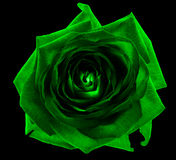 Acid green rose flower macro isolated Royalty Free Stock Photos
