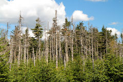 Acid rains. Damage in Canadian forests. Here, in Lanaudiere area, north of Montreal Royalty Free Stock Photos