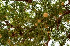 Acidissima Limonia ή δέντρο ξύλινος-Apple Στοκ Φωτογραφίες