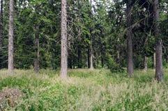 Acidophilous Piceawald von montane zu den alpinen Niveaus Vaccinio-Piceetea Stockbilder