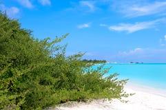 Acidula tropical verde de Pemphis do arbusto na lagoa azul do oceano Imagens de Stock Royalty Free