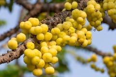 Acidus de Gosseberry Phyllanthus de la estrella Imágenes de archivo libres de regalías