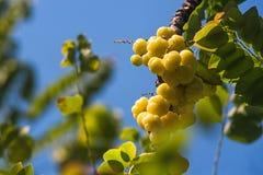 Acidus de Phyllanthus Foto de Stock