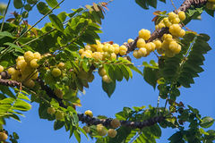 Acidus de Phyllanthus Fotografia de Stock