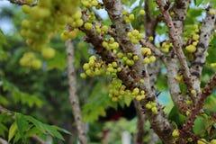 Acidus di Phyllanthus Immagine Stock