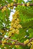 Acidus di Phyllanthus sull'albero Immagine Stock