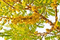 Acidus di Phyllanthus sull'albero in giardino Fotografie Stock Libere da Diritti