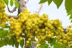 Acidus Stern Gosseberry Phyllanthus Stockbild