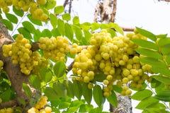 Acidus Stern Gosseberry Phyllanthus Stockfotografie