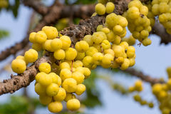 Acidus Stern Gosseberry Phyllanthus Lizenzfreie Stockbilder