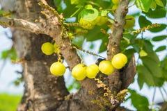 Acidus Stern Gosseberry Phyllanthus Baum Stockbild