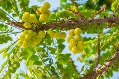 Acidus Stern Gosseberry Phyllanthus Baum Stockbilder