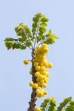 Acidus van stergosseberry Phyllanthus royalty-vrije stock foto's