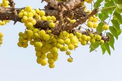 Acidus van stergosseberry Phyllanthus royalty-vrije stock fotografie