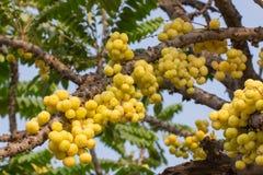 Acidus van stergosseberry Phyllanthus stock fotografie