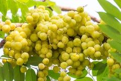 Acidus van stergosseberry Phyllanthus Stock Foto's