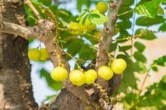 Acidusboom van stergosseberry Phyllanthus stock fotografie