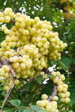 acidusphyllanthustree Arkivbild