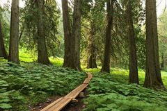 Acient cedar forest. In north canada Stock Images