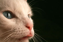 Acima da vista próxima da face dos gatos imagens de stock royalty free