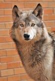 Acima de encontro a um lobo de madeira da parede Foto de Stock