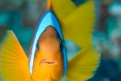 Acima de próximo e de pessoal com um Clownfish Fotografia de Stock Royalty Free