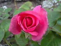 Acima de Rosa cor-de-rosa Fotografia de Stock