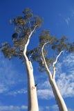 Acima de uma árvore de goma Fotografia de Stock Royalty Free