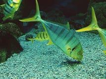Acima de uma pena nos peixes tropicais da vida empresarial aquática que mostram tendências Fotografia de Stock