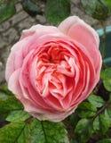 Acima dos pingos de chuva dentro de Rosa cor-de-rosa Fotografia de Stock