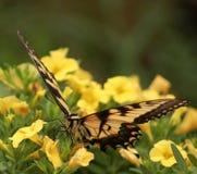 Acima-fim de Swallowtail do homem em flores amarelas foto de stock