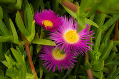 Acinaciformus Carpobrotus λουλουδιών Στοκ Εικόνα