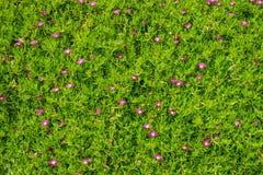 Acinaciformus Carpobrotus λουλουδιών Στοκ Φωτογραφίες