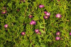 Acinaciformus Carpobrotus цветков Стоковые Изображения