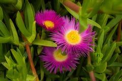 Acinaciformus de Carpobrotus de fleurs Image stock