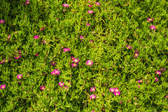 Acinaciformus del Carpobrotus dei fiori Immagine Stock