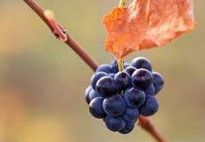 Acini d'uva Immagine Stock Libera da Diritti