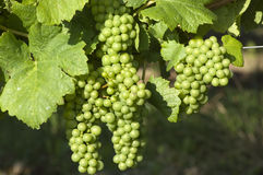 Acini d'uva bianchi Immagine Stock