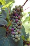 Acini d'uva bianchi immagini stock libere da diritti