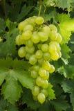 Acini d'uva bianchi di frutti sani che riping nella vigna, vino gr Immagini Stock Libere da Diritti