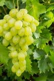 Acini d'uva bianchi di frutti sani che riping nella vigna, vino gr Fotografie Stock Libere da Diritti