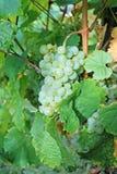 Acini d'uva bianchi su un ordine del vino Fotografia Stock