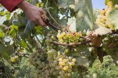 Acini d'uva e cesoie in mani del ` s dell'agricoltore Mazzo giallo verde alle vigne ecologiche soleggiate durante il raccolto Immagini Stock Libere da Diritti
