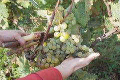 Acini d'uva e cesoie in mani del ` s dell'agricoltore Mazzo giallo verde alle vigne ecologiche soleggiate durante il raccolto Fotografia Stock