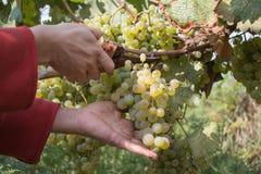 Acini d'uva e cesoie in mani del ` s dell'agricoltore Mazzo giallo verde alle vigne ecologiche soleggiate durante il raccolto Fotografia Stock Libera da Diritti