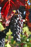 Acini d'uva maturi in autunno immagine stock libera da diritti