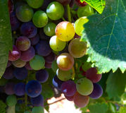 Acini d'uva in Napa Fotografia Stock