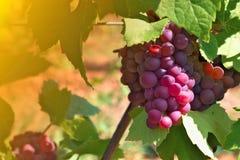 Acini d'uva nell'ora legale Fotografia Stock