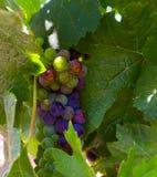 Acini d'uva nella vigna di Napa Fotografia Stock